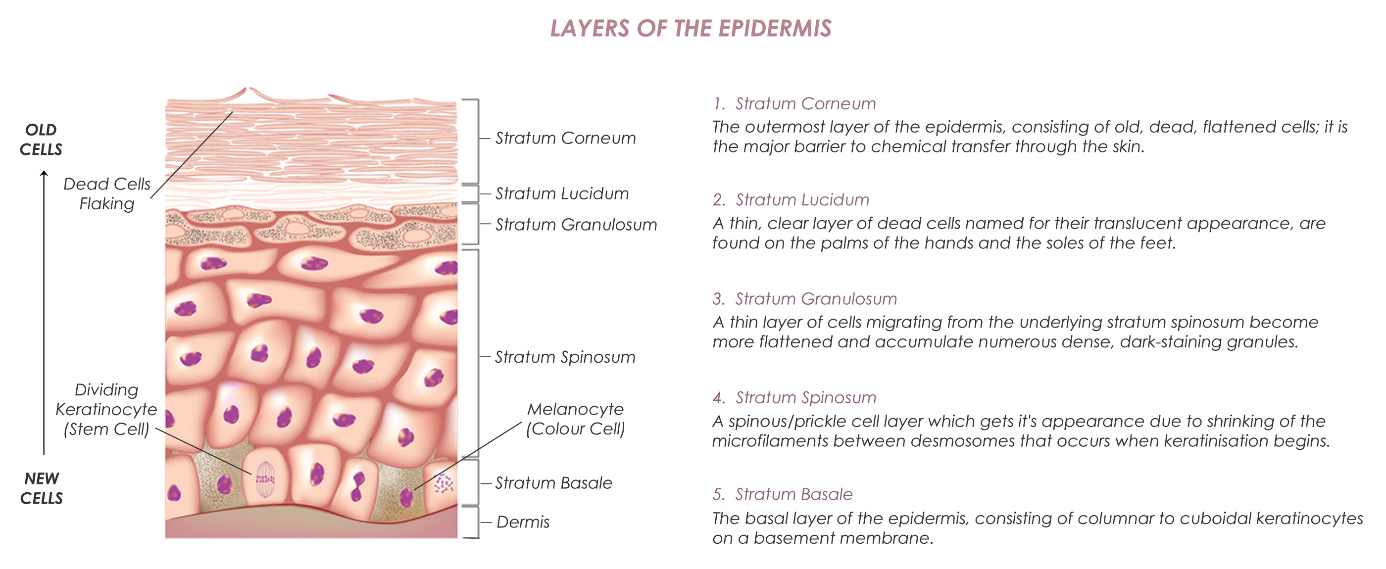 Epidermal Layers2